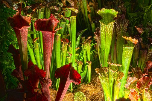Pitcher, Hdr, Carnivorous Plant, Plant, Natural