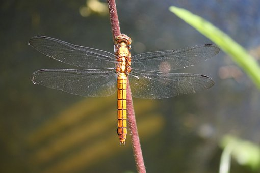 Dragonfly, Yellow, Insects, Bugs, Gardens, Still Life