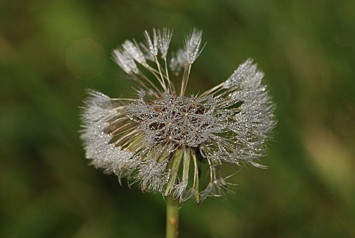 Dandelion, Taraxacum Officinale, Seeds, Water Droplets
