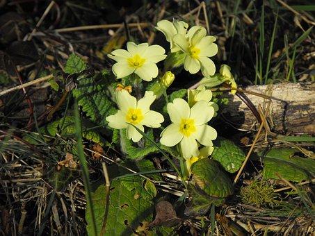 Primroses, Flower, Wild, Spring, Green, Nature, Plant