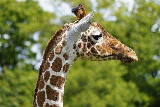 Giraffe, Zoo, Whipsnade, Bedfordshire, Animal, Nature