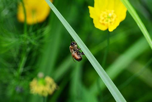 Drone, Honey Bee, Male, Bee, Resting, Leaf, Buckfast
