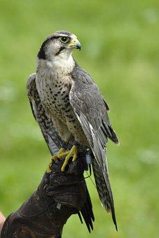 Bird, Falk, Gyr Falcon, Animals