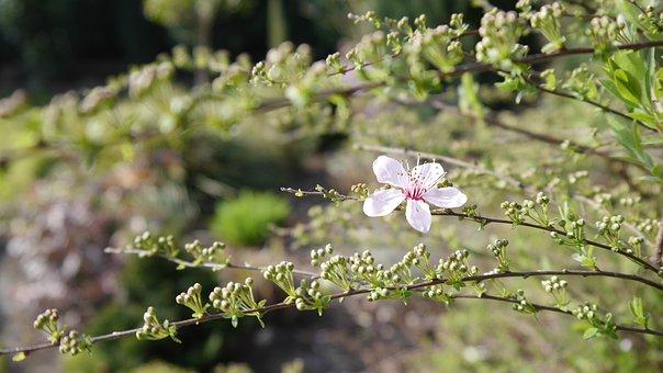 Blossom, Bloom, Blood Plum, Pink, Spring, Bloom