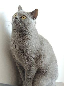 Cat, Home, Gray, British, Cherished