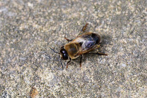 Drone, Honey Bee, Male, Bee, Buckfast, Strong, Insect