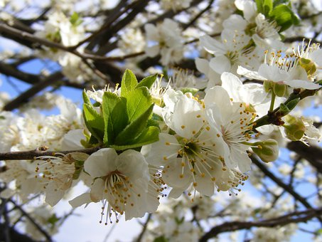Nature, Flowers, Gardens, Mirobolam, Prunus, Cerasifera
