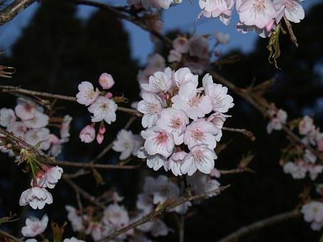 Evening, Cherry Blossoms, During The Day, In Full Bloom