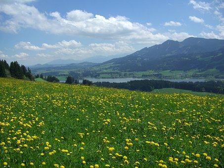 Dandelion Meadow, Alpine Pointed, Edelsberg