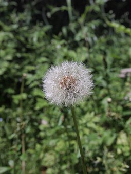 Dandelion, Plant, Wadding, Natural, Grass