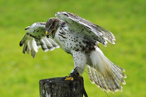 Falk, Bird, Gyr Falcon