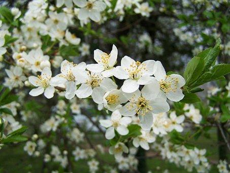 Fruit Trees In Bloom, White Flower, Spring