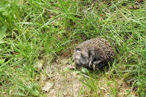 Grass, Garden, Hedgehog, Young Animal, Little Hedgehog