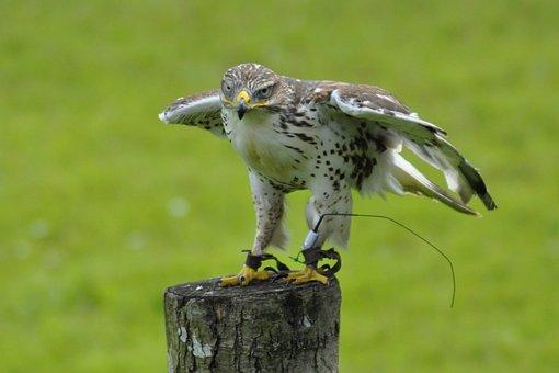 Animals, Bird, Falk, Gyr Falcon