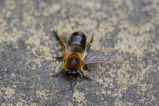 Drone, Honey Bee, Male, Bee, Buckfast, Insect, Wings