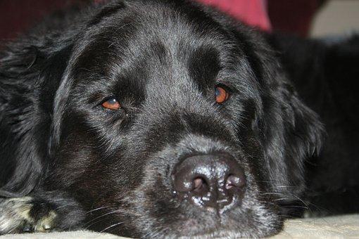 Dog, Pet, Sleep, Canine, Animal, Eyes