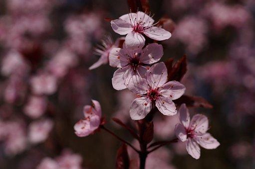 Blood Plum, Prunus Cerasifera, Flowers, Spring, Plant