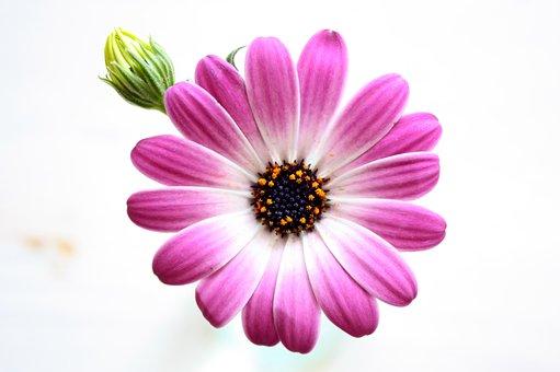 Flower, Pink, Nature, Purple, Blossom, Bloom, Plant
