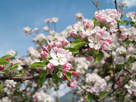 Apple Blossom, Vintschgau, South Tyrol