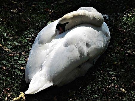 Sleeping Swan, Wild Bird, Nature, Graceful, Canada
