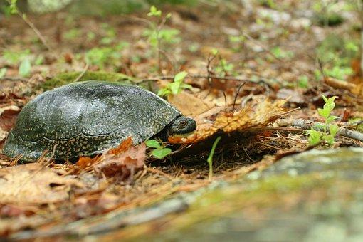 Blandingii, Emydoidea, Wild, Ground, Turtle, Blandings