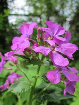 Lunaria Annua, Honesty, Annual Honesty, Wildflower