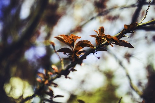 Cherry, Leaves, Leaf, Young, Spring, Plum