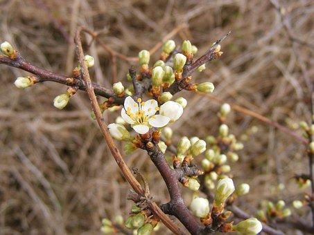Blackthorn, Buds, Flowers, Prunus, Sloe, Spinosa, White
