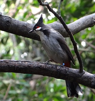 Bird, Trees, Bushes, Synanthropic, Asia, India, China