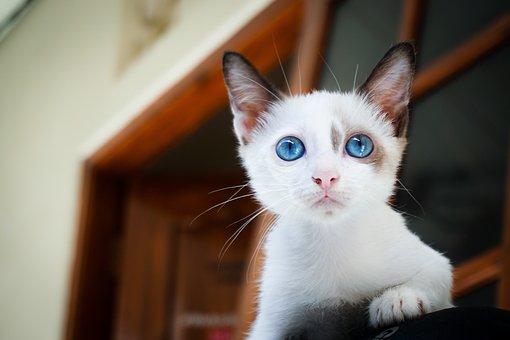 Adorable, Animal, Blue Eyes, Blur, Blurry, Cat