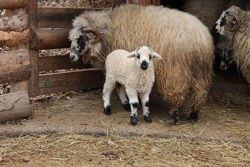 Farm, Lamb, Mom, Little, Nature, Management, Animal