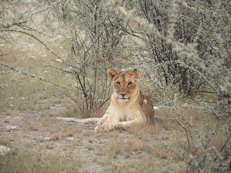 Lion's Whelp, Bush, Shrubs, Namibia