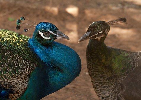 Peacock, Ave, Animals, Pen, Feathers, Beautiful, Birds