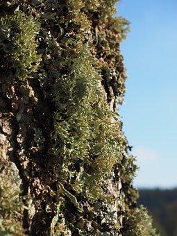 Lichen, Tree, Sorediöse Astflechte, Ramalina Farinacea