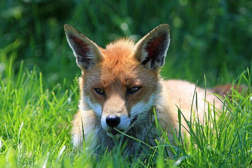 Fox, Red Fox, Red, Resting, Face, Head, Close-up