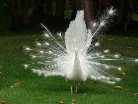 Peacock, White Bird, China, Beautiful Bird, Travel