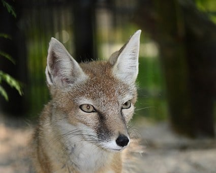 Fox, Animal, Nature, Wildlife, Furry, Face, Head, Ears