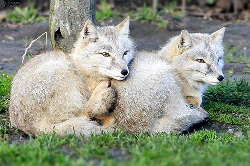 Steppevos, Fox, Zoo