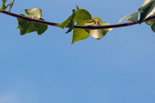 Nature, Background, Blue, Blue Sky, Brach, Tree, Leaves