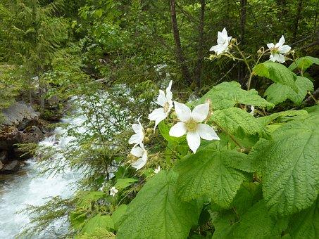 Blackberry, Blossom, Bloom, Wild Flowers, Water Running