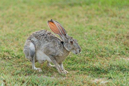 Animal, Cute, Field, Fur, Grass, Grey, Hop, Mammal