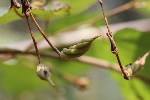 Edambiri, Screw Sleeve Tree, Kerala, India, Fruit