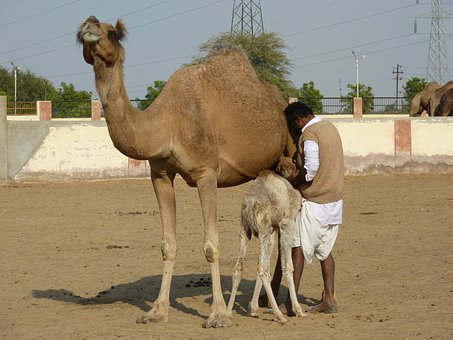 Camel Farm, Bikaner, India