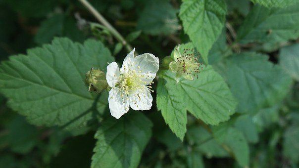 Blackberry, Blossom, Bloom, Forest Fruit, Bush, Leaves