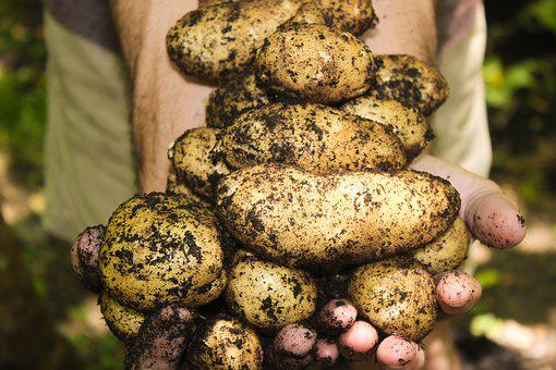 Potatoes, Natural, Soil, Gardening, Farming, Garden
