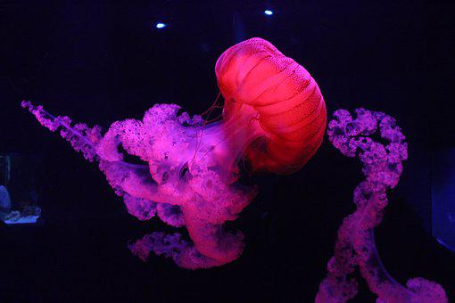 Jellyfish, Colorful, Fish, Pretty, Tank, Water, Pink