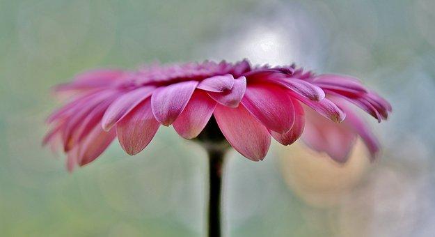 Sun Wing, Flower, Pink, White, Yellow