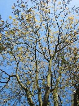 Ailanthus Altissima, Tree Of Heaven, Ailanthus, Tree