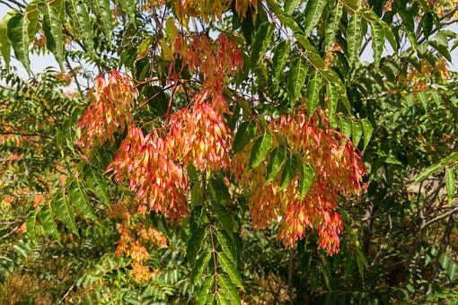 Ailanthus Altissima, Tree Of Heaven, Ailanthus, Tree