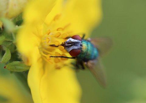 Fly, Insect, Brachycera, Diptera, Animals